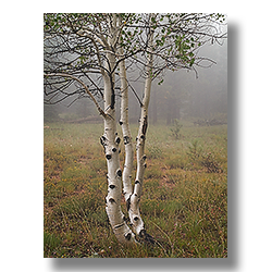 Kaibab Plateau Aspens on a foggy morning.