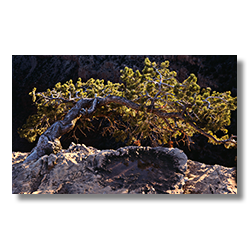 Canyon Juniper