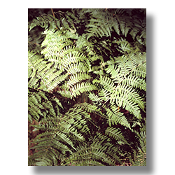 Sublime Ferns