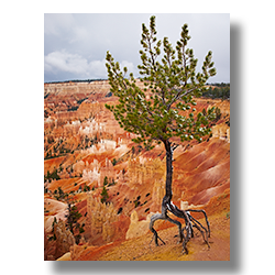 Erosion has undermined the root system of this littl fur tree at Bryce Canyon Utah